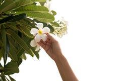 Mano de la mujer en el frangipani o la flor del plumeria aislada Imágenes de archivo libres de regalías