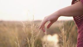 Mano de la mujer joven que camina a través de campo salvaje del prado durante puesta del sol Mano femenina que toca el primer de  almacen de metraje de vídeo