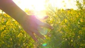 Mano de la mujer joven que pasa a través de un campo salvaje del prado Mano femenina que toca el primer de las flores salvajes