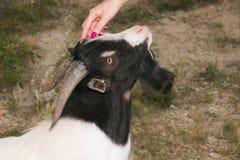 Mano de la mujer que acaricia la cabeza de la cabra Imagenes de archivo