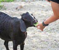 Mano de la mujer que alimenta para ennegrecer la cabra imagen de archivo libre de regalías