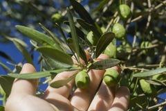 Mano de la mujer que escoge aceitunas maduras del árbol Plantación orgánica Cl fotos de archivo