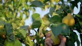 Mano de la mujer que escoge una pera madura de un árbol en el jardín en Sunny Summer Day almacen de video