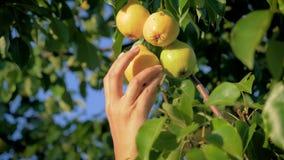 Mano de la mujer que escoge una pera madura de un árbol en el jardín en Sunny Summer Day metrajes
