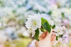 Mano de la mujer que lleva a cabo una rama del flor de la manzana con las flores blancas contra fondo hermoso del bokeh imagenes de archivo