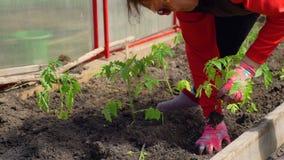 Mano de la mujer que planta un tomate orgánico almacen de video