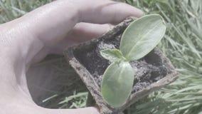 Mano de la mujer que sostiene una pequeña planta verde del árbol, visión superior almacen de video