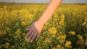 Mano de la mujer que toca las flores amarillas en campo hermoso en la puesta del sol de oro almacen de metraje de vídeo