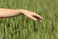 Mano de la mujer que toca suavemente trigo en un campo Fotografía de archivo libre de regalías