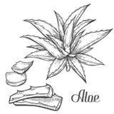 Mano de la planta de Vera del áloe dibujada grabando el ejemplo del vector en el fondo blanco Ingrediente para la medicina tradic libre illustration
