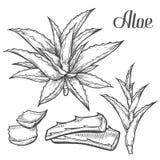 Mano de la planta de Vera del áloe dibujada grabando el ejemplo del vector en el fondo blanco Ingrediente para la medicina tradic Fotografía de archivo