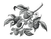 Mano de la rama de la frambuesa que dibuja el clip art blanco y negro i del vintage ilustración del vector