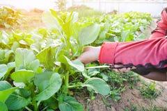Mano de las mujeres que cortan la verdura verde orgánica fresca Imágenes de archivo libres de regalías