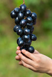 Mano de las uvas de la cosecha del niño Fotografía de archivo