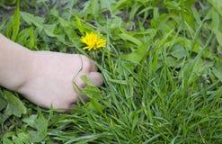 Mano de un niño que escoge una flor del diente de león Imagen de archivo libre de regalías