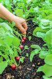 Mano de una mujer que escoge la primera cosecha de rábanos en jardín aumentado de la cama fotos de archivo libres de regalías