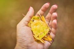 Mano de una mujer que sostiene un puñado de hojas de otoño amarillas fotografía de archivo
