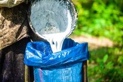 Mano del agrónomo que sostiene el depósito de leche del árbol de goma Foto de archivo