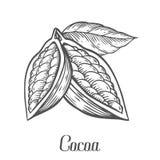 Mano del cacao dibujada Ejemplo del vector de la botánica del cacao Garabato de la comida nutritiva sana Fotos de archivo libres de regalías
