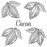Mano del cacao dibujada Sistema del ejemplo del vector de la botánica del cacao Garabato de la comida nutritiva sana Línea del gr Imagen de archivo