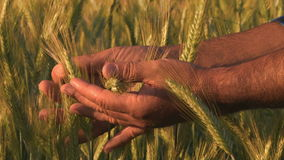Mano del coltivatore nel campo di frumento video d archivio