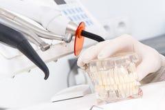 Mano del doctor en el guante protector que lleva a cabo el modelo dental del mandíbula, herramientas para usar de los dentistas e Fotografía de archivo