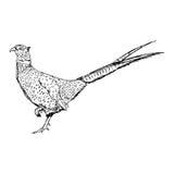 Mano del garabato del vector del ejemplo dibujada del faisán del campo común del bosquejo ilustración del vector