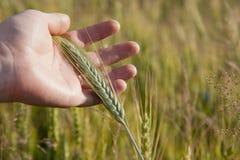 Mano del granjero con la espiguilla verde del trigo Imágenes de archivo libres de regalías