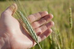 Mano del granjero con la espiguilla verde del trigo Fotografía de archivo libre de regalías