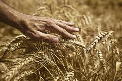 Mano del granjero en campo de trigo Imagen de archivo libre de regalías