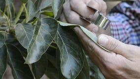 Mano del granjero que examina una hoja del aguacate con una lupa especial almacen de metraje de vídeo