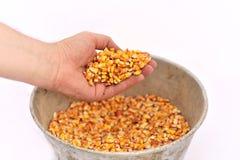 Mano del hombre con los granos del maíz Imagen de archivo libre de regalías