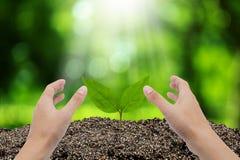 Mano del hombre que crece y que consolida el árbol que crece en suelo fértil Foto de archivo