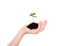 Mano del negocio que sostiene la pequeña planta verde Foto de archivo libre de regalías