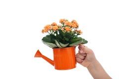 Mano del niño que sostiene la pequeña regadera con las flores Fotos de archivo libres de regalías