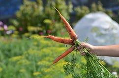 Mano del niño que sostiene un manojo de zanahorias orgánicas frescas en el verano GA Imagen de archivo libre de regalías