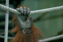 Mano del orangután Imagen de archivo