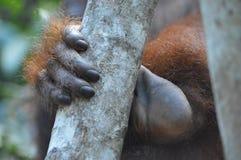 Mano del orangután Imagen de archivo libre de regalías