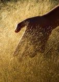 Mano del oro Imagen de archivo libre de regalías