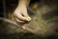 Mano del pequeño niño con la flor de la margarita Fotografía de archivo