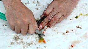 Mano del pescador con la escala de pescados baja limpia de la perca del cuchillo metrajes