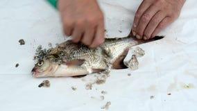 Mano del pescador con la escala de pescados limpia de la brema del cuchillo almacen de video