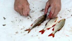 Mano del pescador con la escala de pescados limpia de la cucaracha del cuchillo almacen de metraje de vídeo