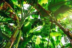 Mano del plátano en la palma en selva Fotos de archivo