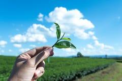 Mano del primer para cosechar la hoja de té Imagen de archivo libre de regalías
