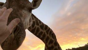 Mano del primo piano che tocca una giraffa africana sul safari in un'area di conservazione stock footage