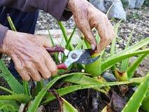 Mano del primo piano dell'uomo anziano asiatico che utilizza le cesoie su aloe vera nel Th Immagini Stock Libere da Diritti