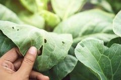 Mano del ` s dell'agricoltore che controlla una foglia di verdure con i fori, alimentari dalla sede potenziale di esplosione Immagine Stock Libera da Diritti