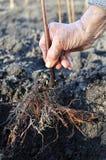 Mano del ` s dell'agricoltore che pianta una piantina del lampone Immagine Stock