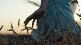 Mano del ` s della donna che cammina attraverso il giacimento di grano Primo piano commovente delle orecchie del grano della mano stock footage